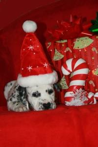 Christmas pups 055a