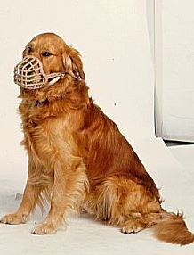 Golden retreiver with muzzle
